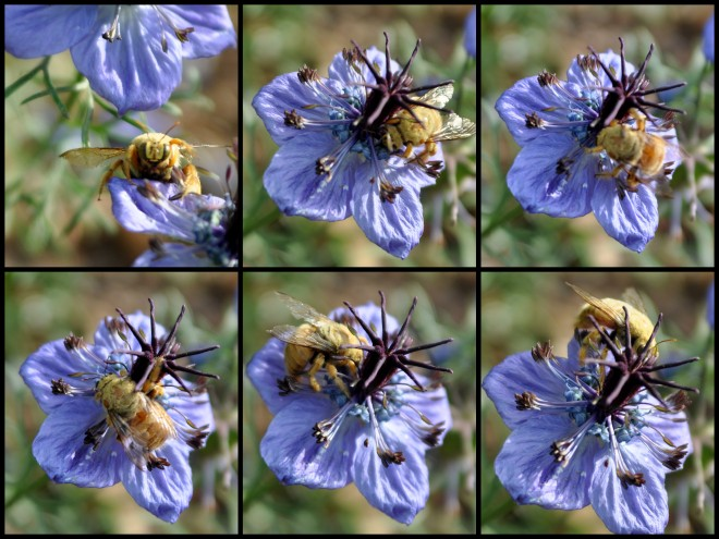 love in a mist with Valley Carpenter Bee