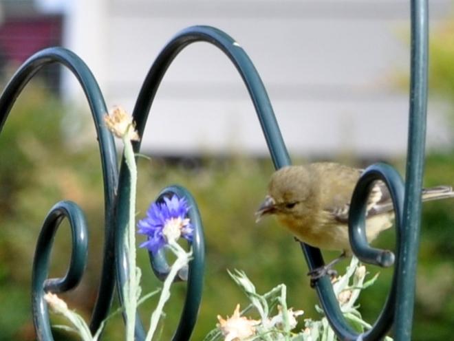 bird cornflower