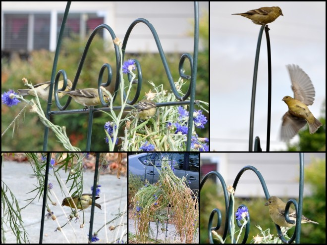 birds eating cornflower seeds collage