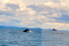 A pair of humpback whales, a mother and her calf