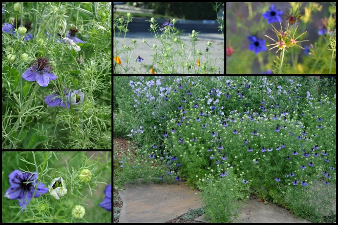 Love in a mist collage