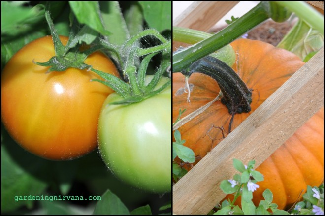 Tomatoes and Pumpkins in July
