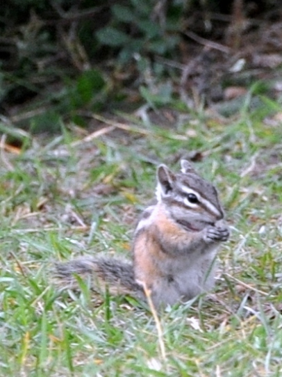 Local chipmunk looking adorable