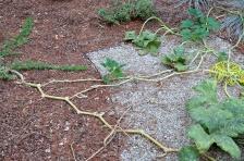 Pumpkin vines, sending out their last bit of energy