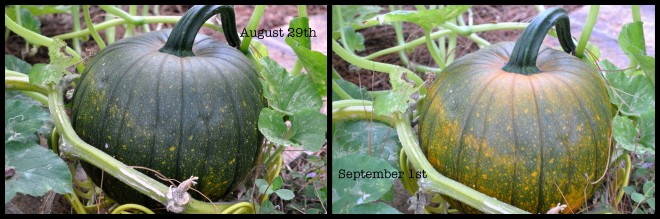 round pumpkins four days apart