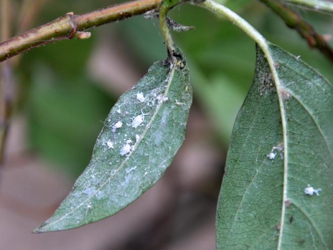 white-bug-carcasses