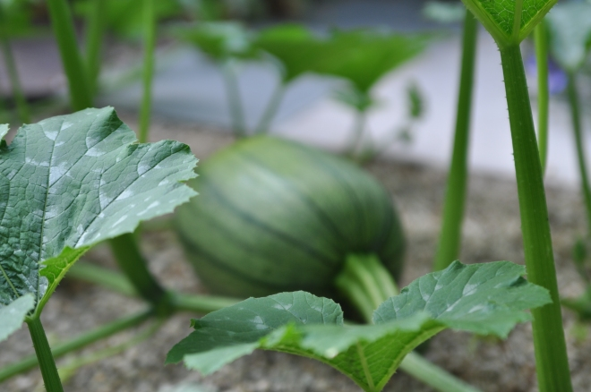 green-pumpkin-in-gravel