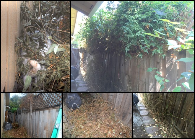 pruning-the-side-yard-vines