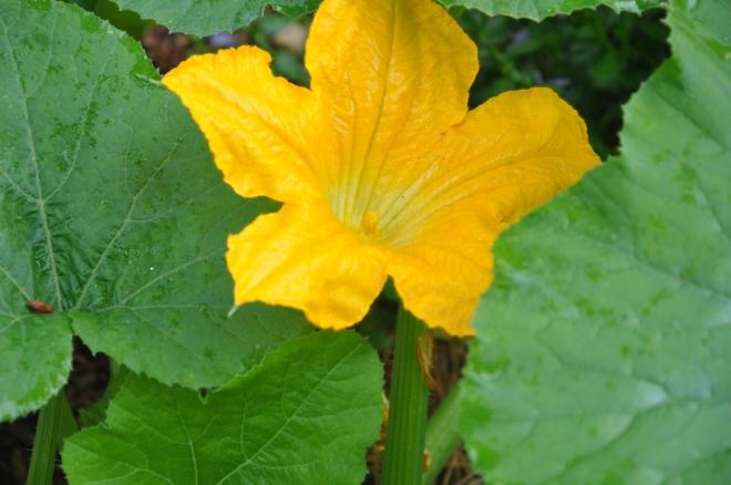 pumpkin-flower-may-7