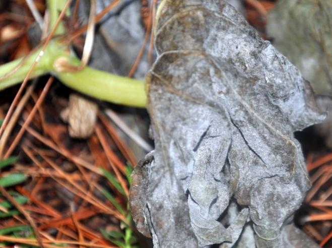 pumpkin-leaves-turn-an-ashy-grey
