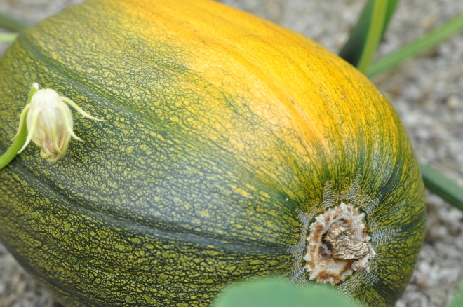 pumpkin-turning-color-june