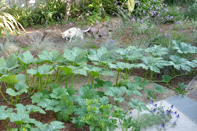 pumpkin-vines-may-26-with-mouse