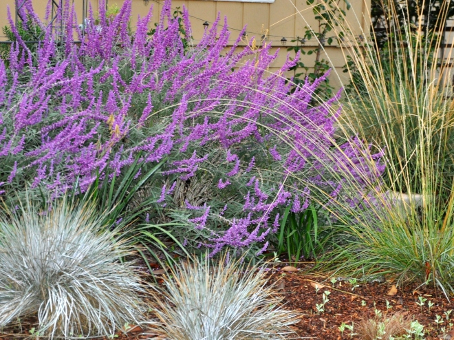 Salvia and native grasses