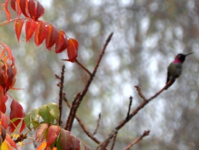 Anna's hummigbird in the rain