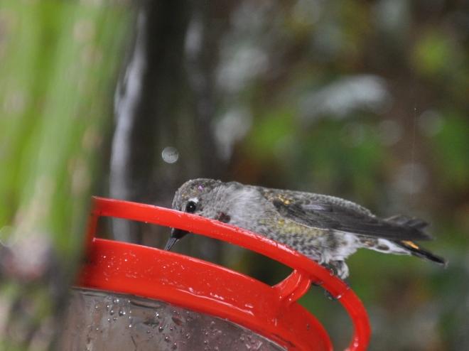 hummingbird-in-the-rain