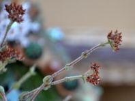 Succulent flowers going to seed