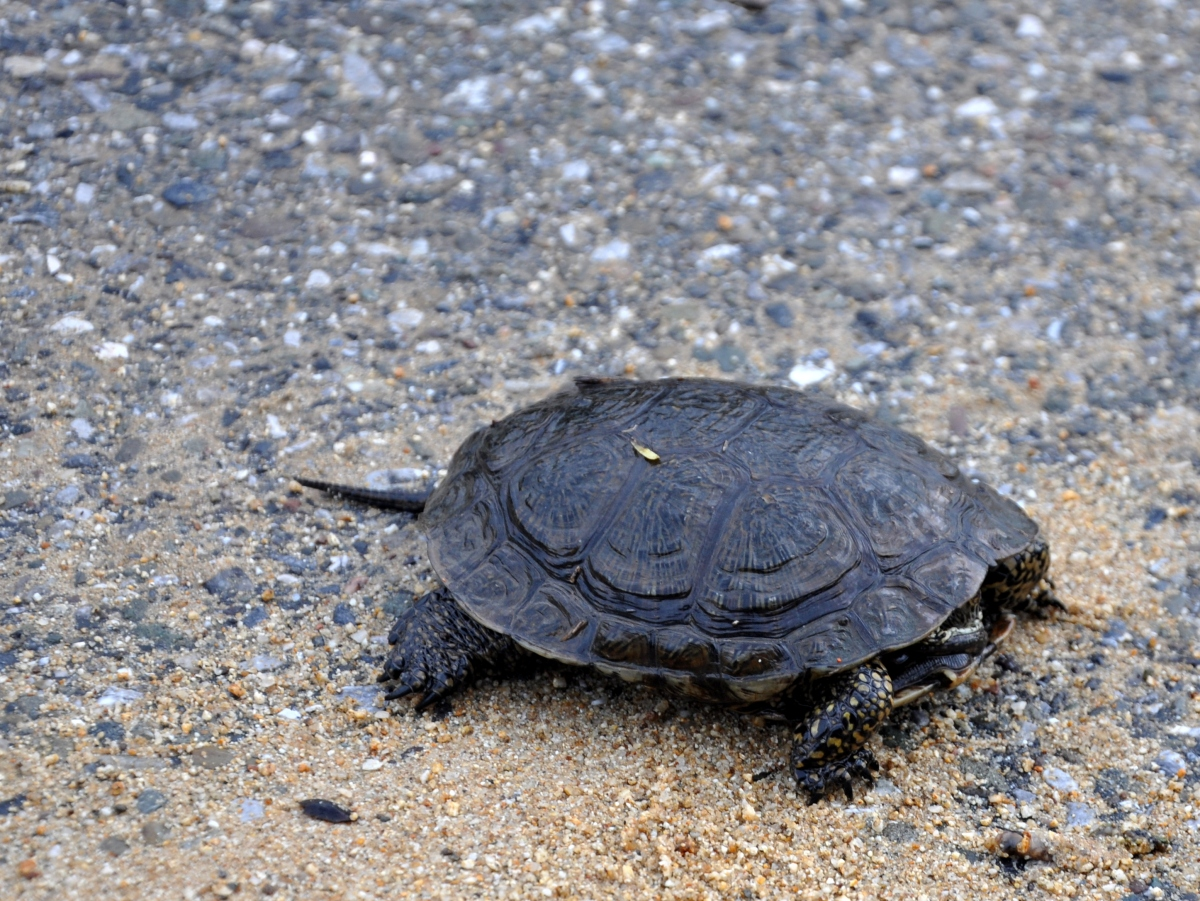 A turtle that lost his way (I moved it off the path into the grassy knoll)