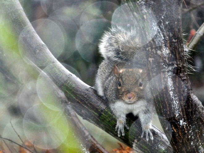 california-grey-squirrel-in-the-rain-jan-8-2017-5-03-pm