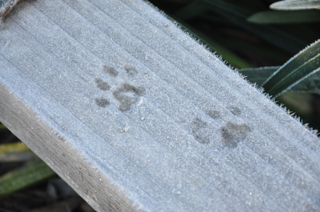 frost-kitty-paws-in-the-garden