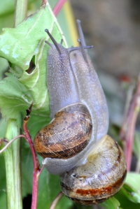 pair-of-snails