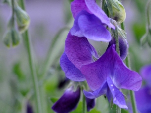 Purple sweet peas, the gift that keeps on giving (Thanks Boomdee)