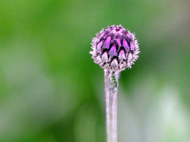 Cornflower bud