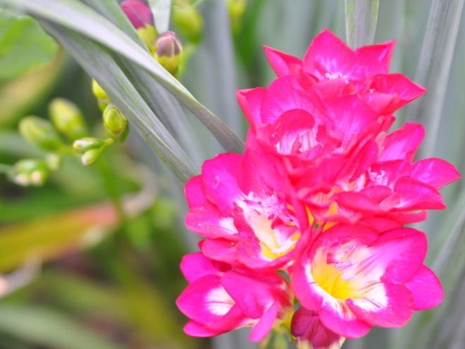 Fuchsia freesia