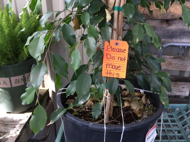 potted ficus with do not move tage