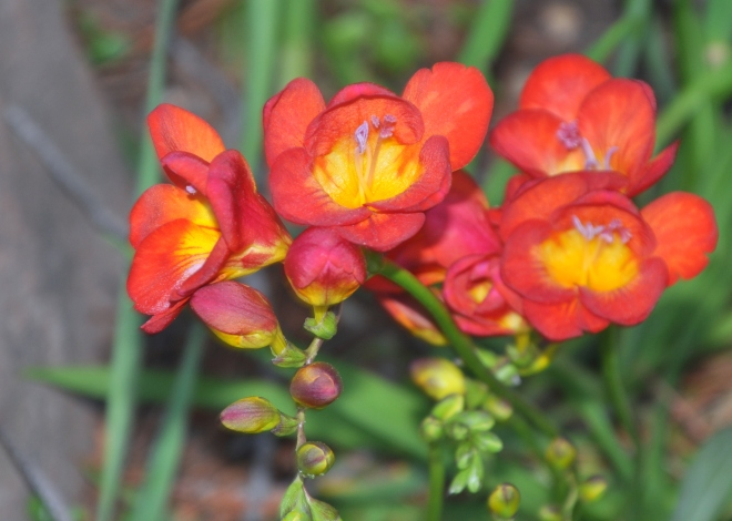 red freesia