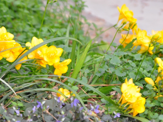 yellow freesia and violets