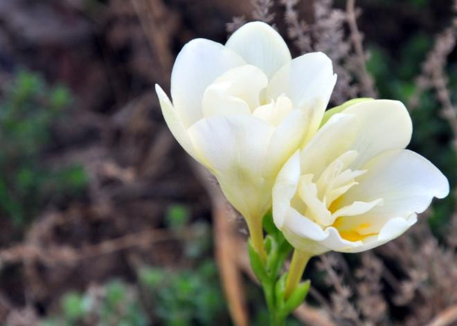 white freesia curb garden