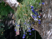 Cornflowers draped in the tree