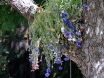 Cornflowers draped in the tree