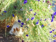 Mouse snoozing under the cornflowers