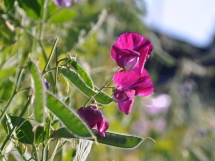 Sweet pea flowers give way to green seed pods