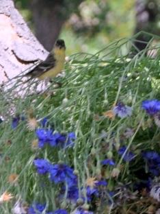 Blurry little yellow bird enjoying some seeds