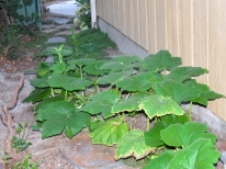 Two pumpkin vines, garden side yard