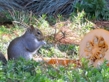 Squirrel eating pumpkin seeds