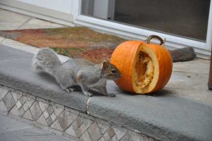 Squirrel approaching pumpkin