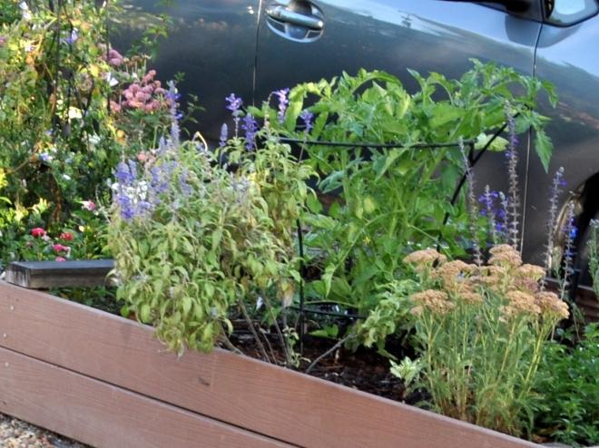 tomato plant curb garden