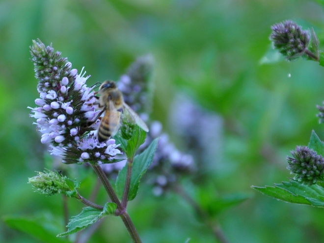 bee on chocolate mint