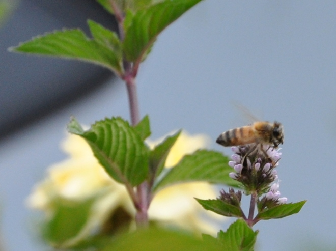 bee on chocolate mint flower