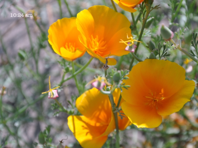California poppies during the solar eclipse