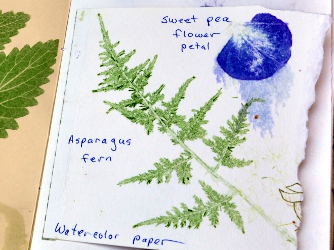 Chlorophyll transfer fern and sweet pea