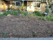 front garden before replanting-001