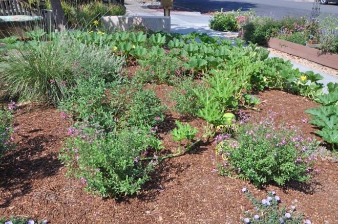 front garden pumpkin vines