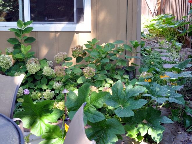 Self-seeded pumpkin vine