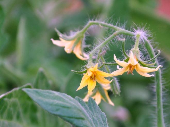 tomato plant flowers