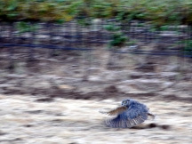 The first owl takes flight (blurred photo, but still worth sharing)
