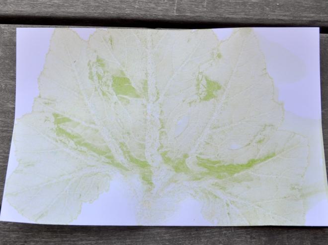 pumpkin leaf chlorophyll print